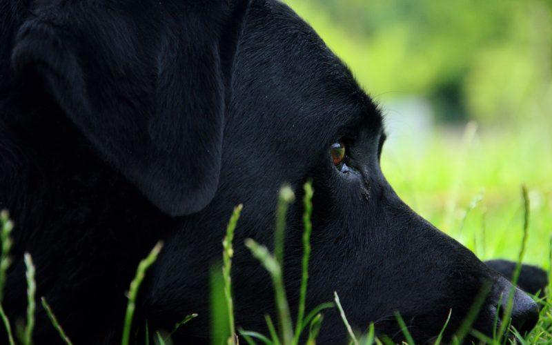 Labrador, Wenn der Hund stirbt, Hund, sterben, Trauer, Abschied, traurig
